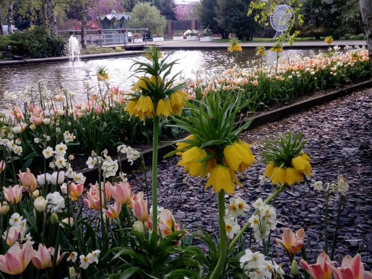 long tulips