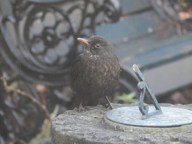 my baby blackbird